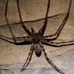 ТОП-5 самых больших пауков