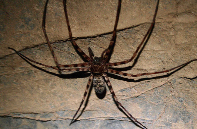 Heteropoda maxima