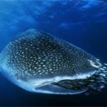 Топ-10 самых крупных рыб мира