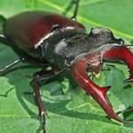 Самые большие в мире жуки