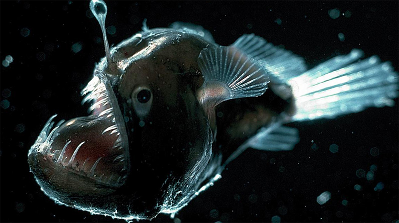 Глубоководный удильщик