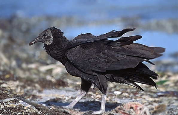 Черный гриф