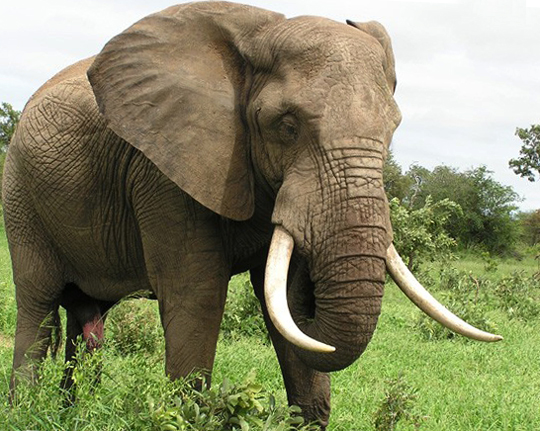 Африканский южный слон