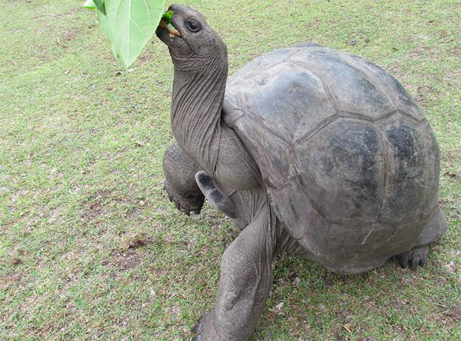 Исполинская черепаха