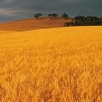 Страны-лидеры по производству пшеницы