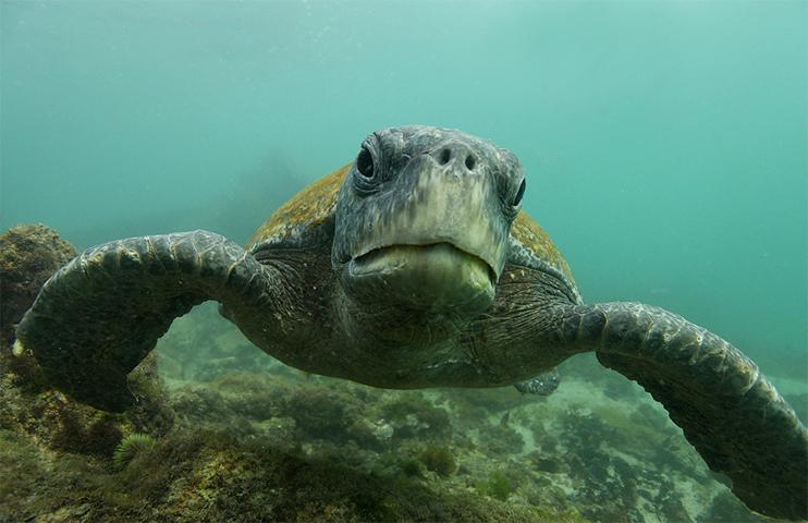 Зеленые черепаха