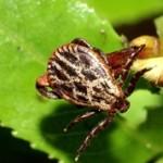 Самые опасные насекомые в России(с фото)