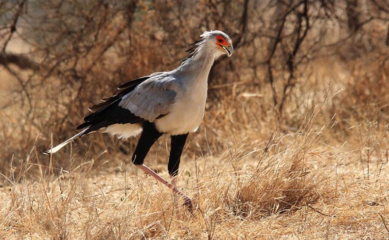 Птица секретарь - внешний вид