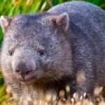 Вомбат — интересные данные и факты