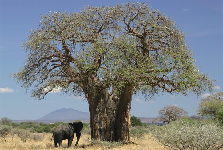 Дерево Баобаб
