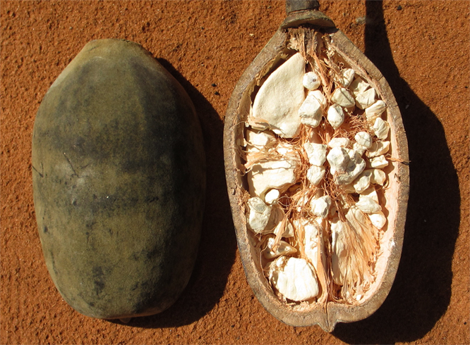 Плод Баобаба