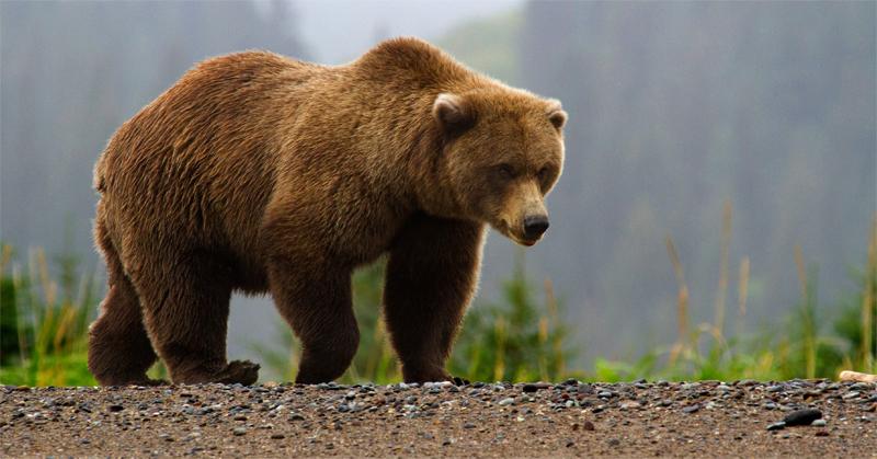Медведь ходит