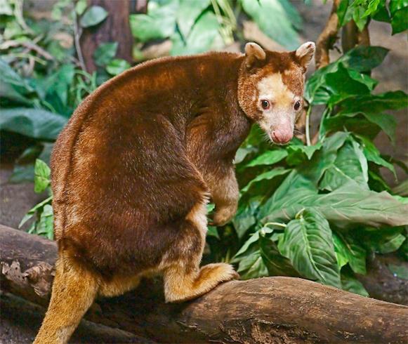 Древесные кенгуру