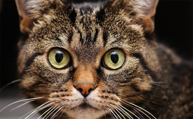 Нос, усы и уши кошки