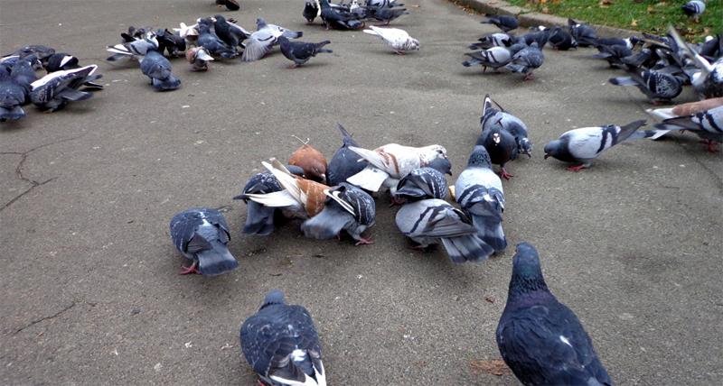 Голуби кушают