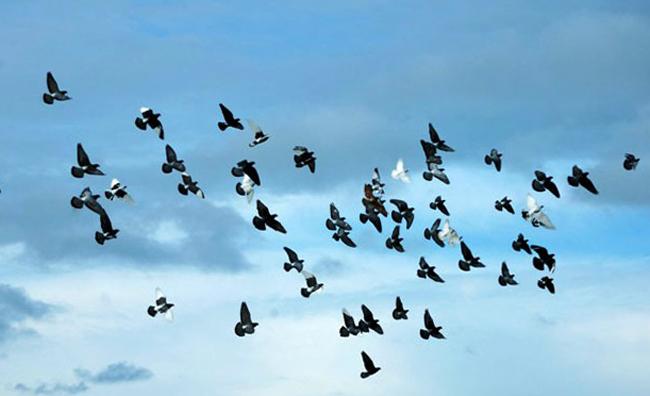 Возвращение голубей