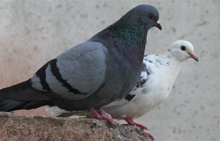 Разные голуби