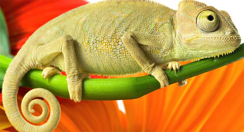 Зеленый хамелеон
