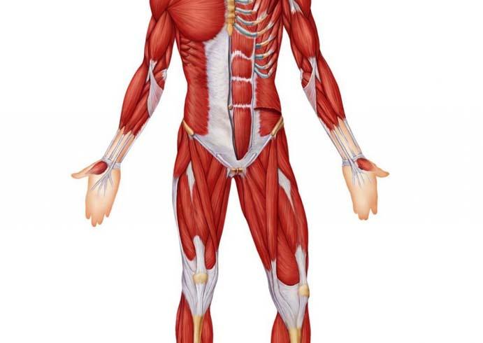 Человек и его мышцы