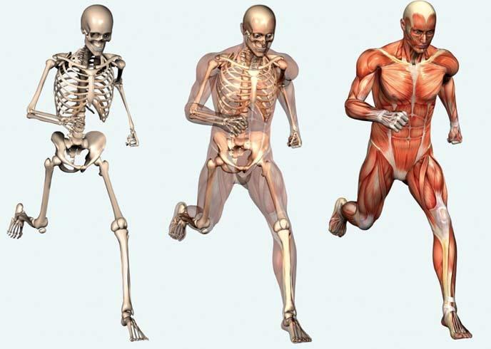 Человеческие мышцы