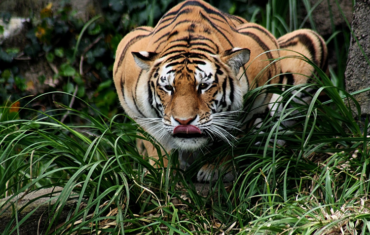 india corruption white tiger