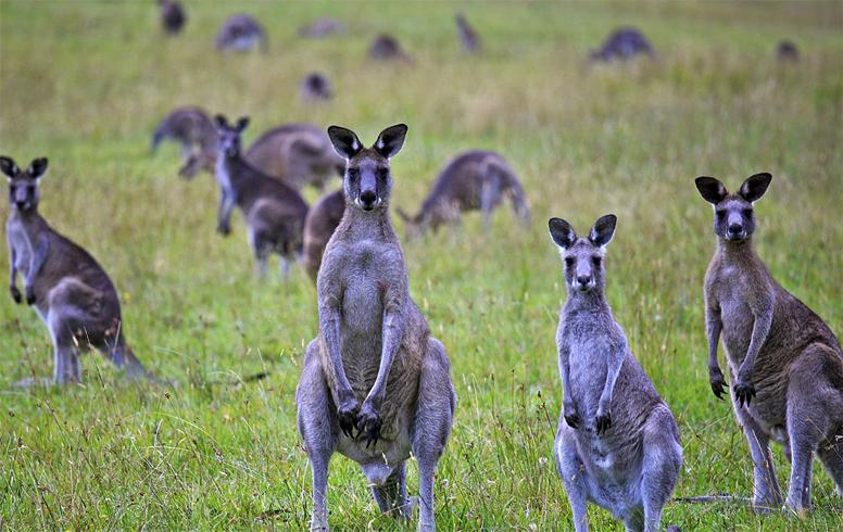 Группа кенгуру