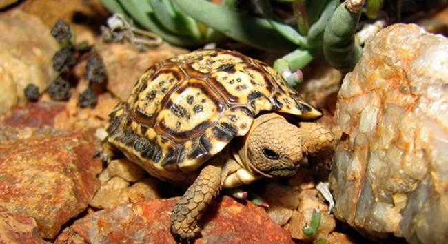 Капская крапчатая черепаха