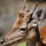 Интересные факты о представителях оленьих — косулях (с фото)