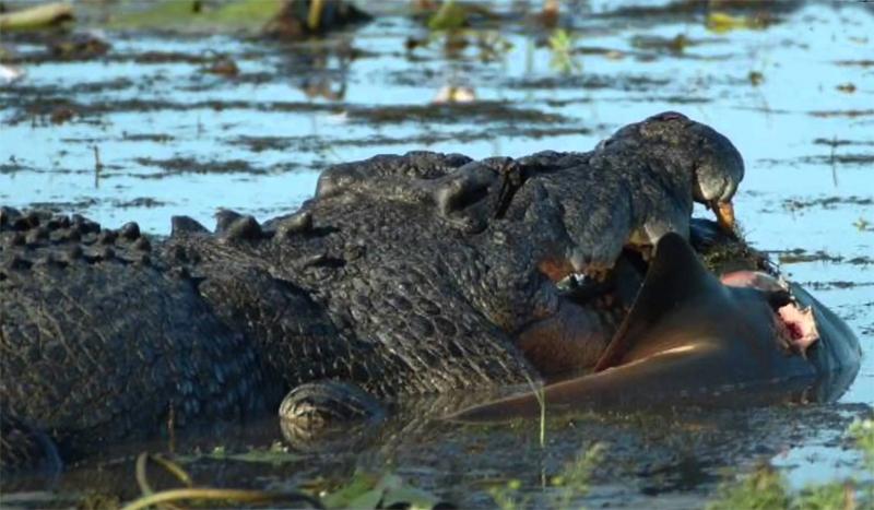 Крокодил ест