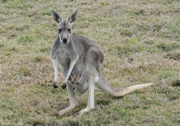Лесной серый кенгуру