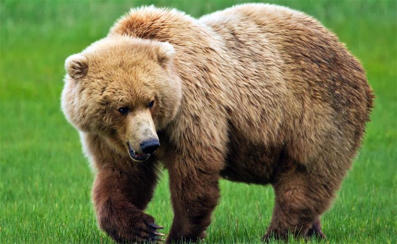 Шерсть медведя