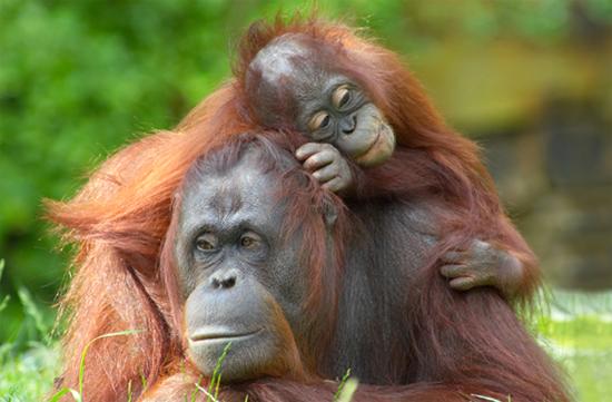 Папа и ребенок обезьяны