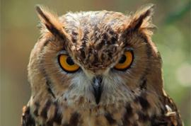 owl441