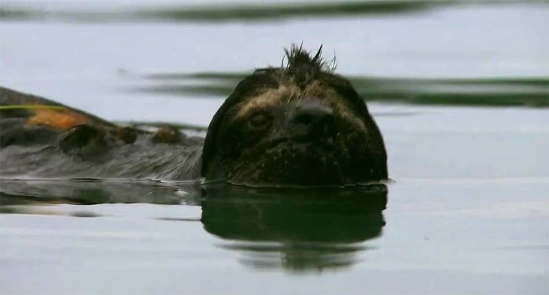 Ленивец плывет
