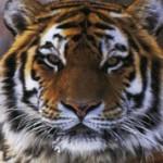 Самые интересные факты о тиграх