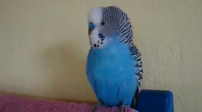 Красивый волнистый попугай