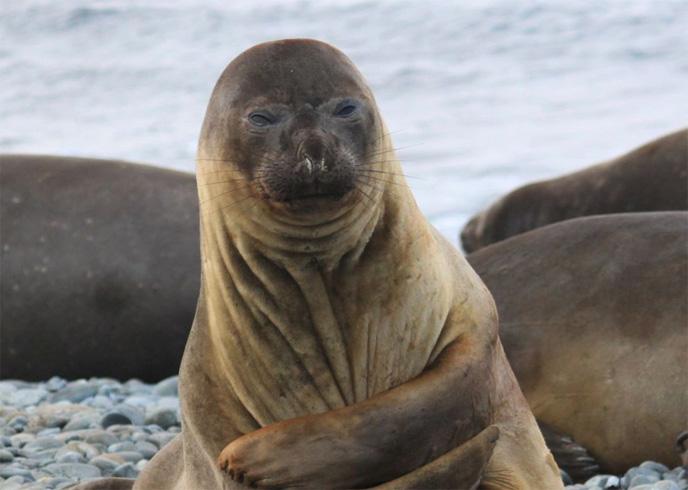 Хмурый тюлень