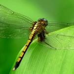 Интересные факты о стрекозах