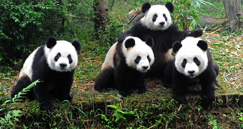 Четыре панды