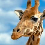 Самые интересные факты о жирафах