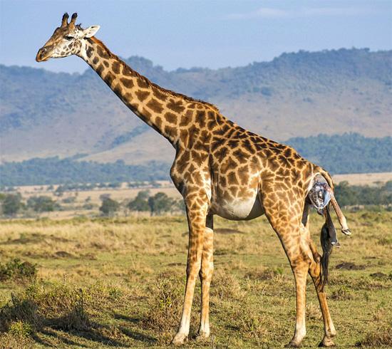 Жираф рожает