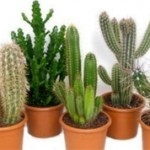 Интересные факты о кактусах