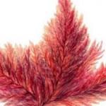 Красные водоросли: интересные данные и факты