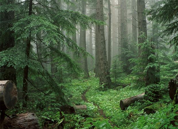 Лес тайги