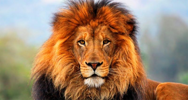 Лицо льва