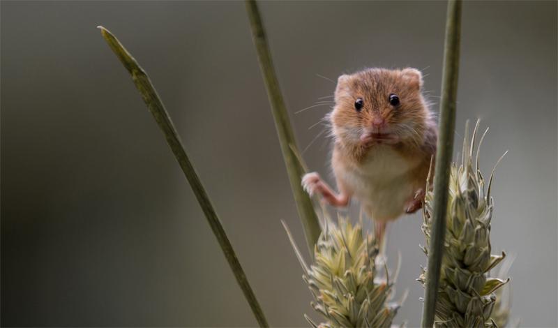 Мышь – малютка