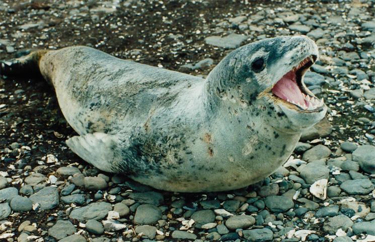 Опасный морской леопард