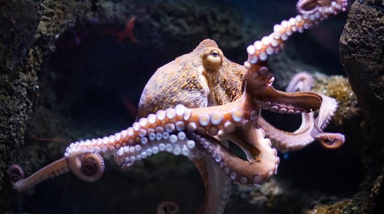 Большой осьминог