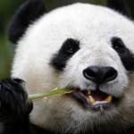 Самые интересные факты о пандах (с фото)
