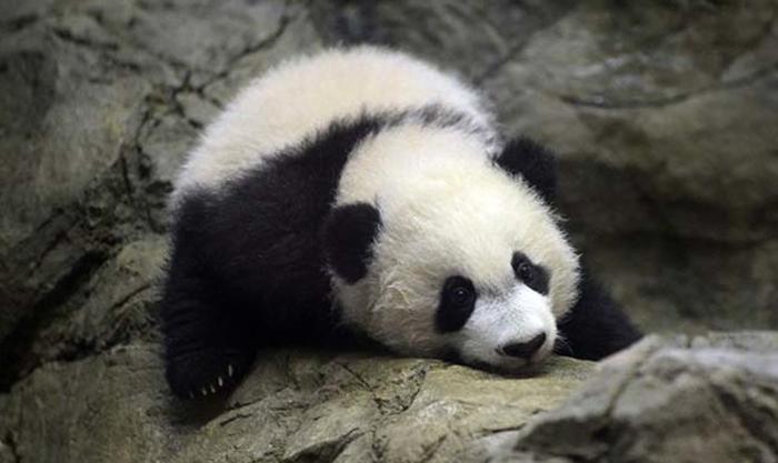Пугливая панда